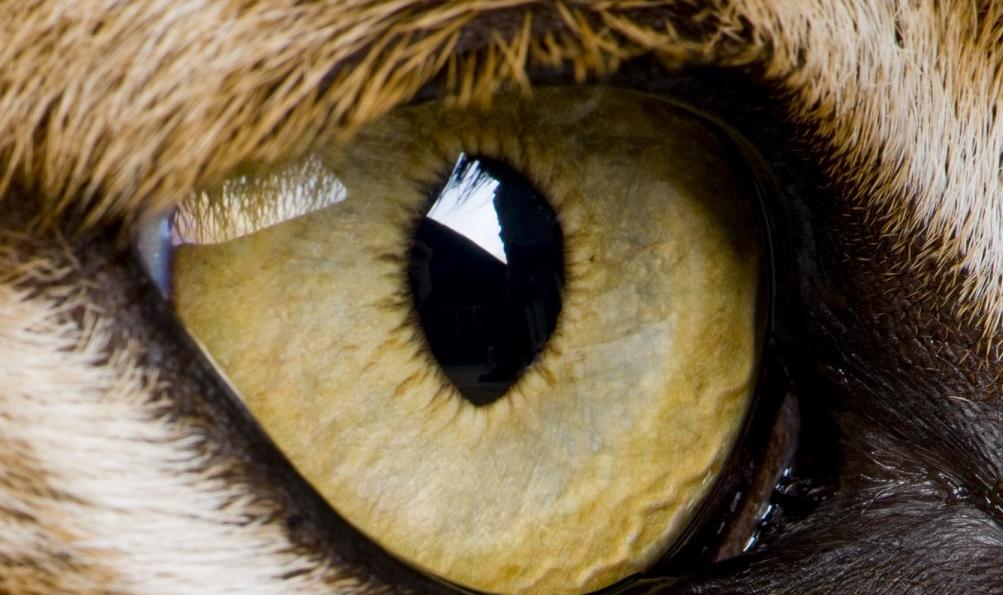 olho de lince